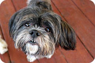 Shih Tzu Dog for adoption in Winnetka, California - BUDDY