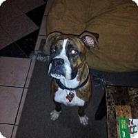 Adopt A Pet :: Niko - Las Vegas, NV
