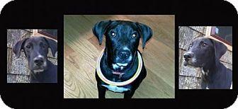 Labrador Retriever Mix Dog for adoption in Madison, Alabama - Willie*