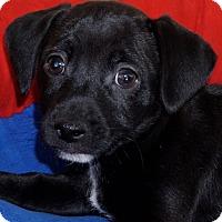 Adopt A Pet :: Beckham - La Habra Heights, CA