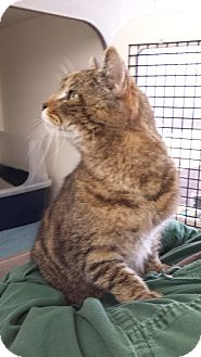 Domestic Shorthair Cat for adoption in Frederick, Maryland - Benny