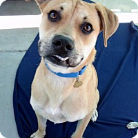 Adopt A Pet :: Duke - Seal Beach, CA