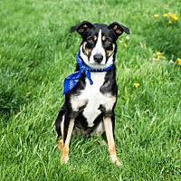 Adopt A Pet :: Max (Courtesy Listing from Naperville, IL) - Plymouth, IN