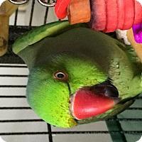 Adopt A Pet :: Gonzo - Punta Gorda, FL