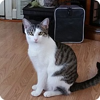 Domestic Shorthair Cat for adoption in Chattanooga, Tennessee - Avon