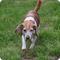 Adopt A Pet :: Poppy - Herndon, VA