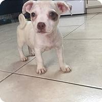 Adopt A Pet :: Alana - Miami, FL