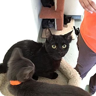 Domestic Shorthair Kitten for adoption in Westminster, California - Cameron