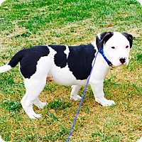 American Bulldog/English Bulldog Mix Puppy for adoption in Columbia, Maryland - Dani Dennison