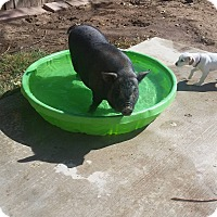 Pig (Potbellied) for adoption in Victorville, California - Waffle
