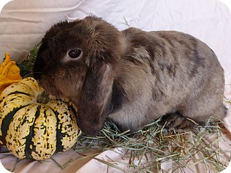 Lop-Eared Mix for adoption in Alexandria, Virginia - Colette