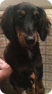 Dachshund Puppy for adoption in St. Louis Park, Minnesota - Huck