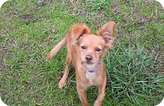 Chihuahua Mix Puppy for adoption in Olympia, Washington - Pickles