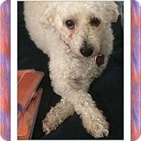 Bichon Frise Dog for adoption in Tulsa, Oklahoma - Adopted!!Hudson - FL