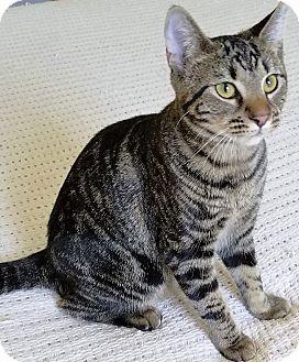 Domestic Shorthair Kitten for adoption in Duluth, Georgia - Rosemary