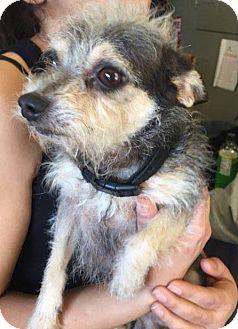 Chihuahua Mix Dog for adoption in Matawan, New Jersey - Vinny