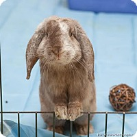 Lop-Eared Mix for adoption in Newtown Square, Pennsylvania - Riley