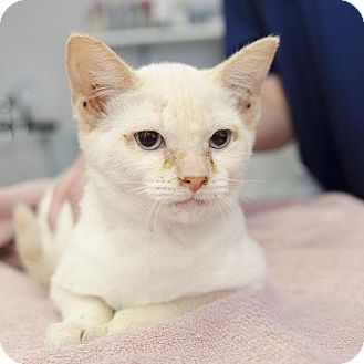 Siamese Cat for adoption in Adrian, Michigan - Bella