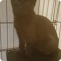 Bombay Kitten for adoption in Griffin, Georgia - Spud