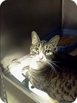 Domestic Shorthair Cat for adoption in Muskegon, Michigan - marcus