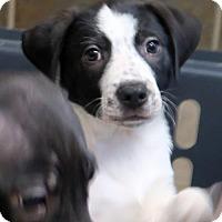 Adopt A Pet :: Hensley - Saratoga, NY