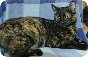 Domestic Shorthair Cat for adoption in Pendleton, Oregon - Eva