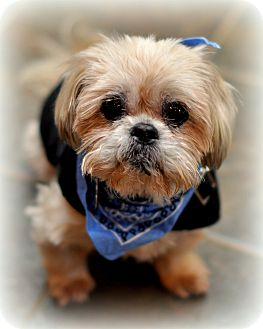 Shih Tzu/Lhasa Apso Mix Dog for adoption in Sparta, New Jersey - Butch