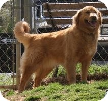 Golden Retriever Mix Dog for adoption in Cheshire, Connecticut - Molly
