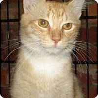 Adopt A Pet :: Pounce - Chesapeake, VA