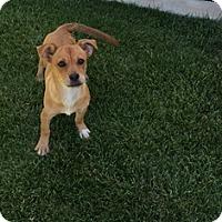Adopt A Pet :: Cherry - Tustin, CA