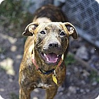 Adopt A Pet :: allie - hollywood, FL