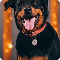 Adopt A Pet :: Bear - Portland, OR