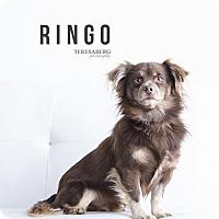 Adopt A Pet :: Ringo - McKinney, TX