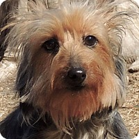 Adopt A Pet :: Tilly - Joplin, MO