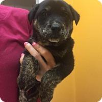 Adopt A Pet :: Liam - Rocky Mount, NC