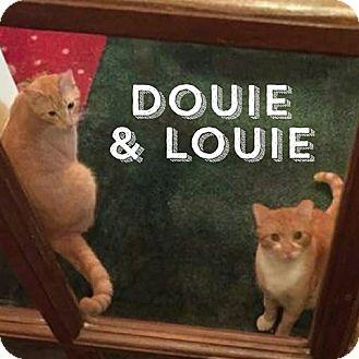 Domestic Mediumhair Cat for adoption in Port Orange, Florida - Louie