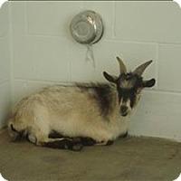 Adopt A Pet :: Bob - Raleigh, NC