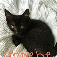 Adopt A Pet :: Phoebe - Berkeley Hts, NJ