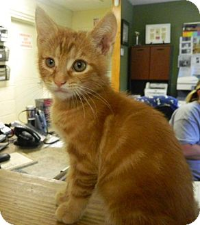 Domestic Shorthair Kitten for adoption in Randleman, North Carolina - Creuger