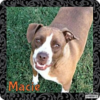 American Pit Bull Terrier Mix Dog for adoption in Rowlett, Texas - Macie