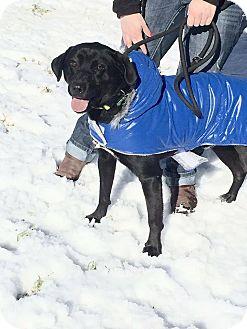 Labrador Retriever/Siberian Husky Mix Dog for adoption in Ann Arbor, Michigan - Michael Angelo