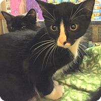 Domestic Shorthair Kitten for adoption in Rochester, Minnesota - Jax