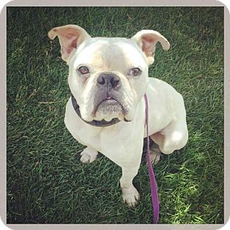English Bulldog/American Bulldog Mix Dog for adoption in Westminster, Colorado - Rupert - Needs Foster