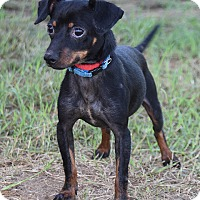 Adopt A Pet :: JACK - Pilot Point, TX