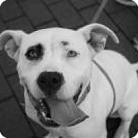 Adopt A Pet :: Isabelle - Lebanon, ME