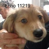 Golden Retriever/Dachshund Mix Puppy for adoption in Alexandria, Virginia - Echo
