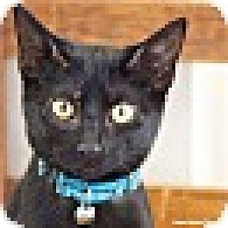 Domestic Shorthair Kitten for adoption in Homewood, Alabama - Pollyanna