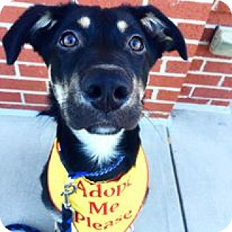 German Shepherd Dog Mix Puppy for adoption in Mooresville, North Carolina - Zeus
