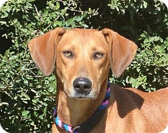 Labrador Retriever/Hound (Unknown Type) Mix Dog for adoption in Mukwonago, Wisconsin - **GINGER**
