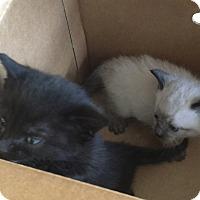 Adopt A Pet :: Bottle Babies *SPONSOR ME* - San Jose, CA